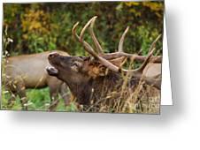Bugling Bull Elk Greeting Card