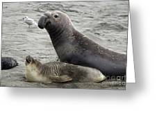Bull Approaches Cow Seal Greeting Card by Mark Newman