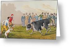 Bull Baiting Greeting Card