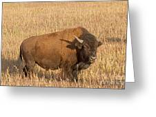 Bull Bison At The  Elk Ranch Grand Teton National Park Greeting Card