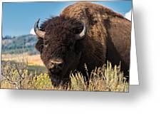 Bull Bison Greeting Card