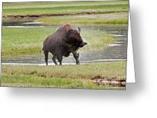 Bull Bison Shaking In Yellowstone National Park Greeting Card