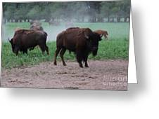 Bull Buffalo Guarding Herd With Green Grass Greeting Card