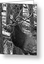 Bull Elk Bw Greeting Card