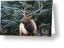 Bull Elk By Blue Spruce Greeting Card