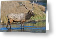 Bull Elk Crossing River Greeting Card