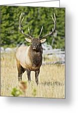 Bull Elk IIII Greeting Card