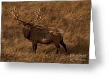 Bull Elk In Evening Light Greeting Card