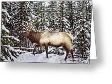 Bull Elk In The Woods Greeting Card