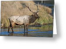Bull Elk On The Madison River Greeting Card