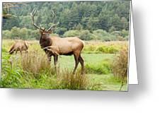 Bull Elk On Watch Greeting Card