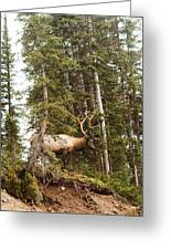 Bull Elk Stands Guard Greeting Card