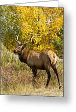 Bull Elk With Autumn Colors Greeting Card