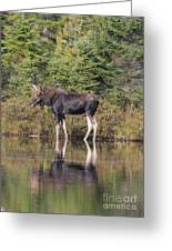 Bull Moose 3 Greeting Card