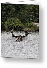 Bull Moose - 3502 Greeting Card