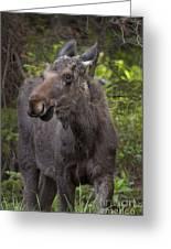 Bull Moose   #5654 Greeting Card