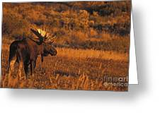 Bull Moose At Sunset Greeting Card by Tim Grams