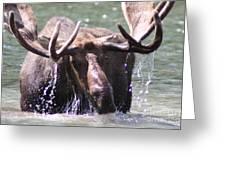 Bull Moose Feeding Greeting Card