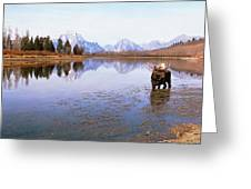 Bull Moose Grand Teton National Park Wy Greeting Card