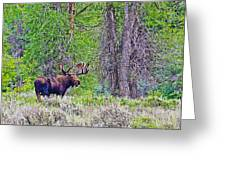 Bull Moose In Gros Ventre Campground In Grand Tetons National Park-wyoming Greeting Card