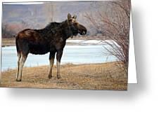 Bull Moose In Late Winter #1 Greeting Card