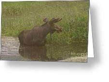 Bull Moose Looking Around  Greeting Card