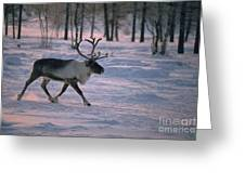 Bull Reindeer In  Siberia Greeting Card