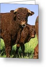 Bull Salers. French Race Greeting Card by Bernard Jaubert