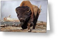Bull Strut Greeting Card