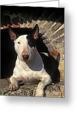 Bull Terrier Dog Greeting Card