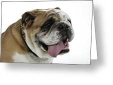 Bulldog, Male Panting Greeting Card