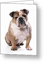 Bulldog Sitting Greeting Card