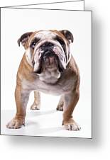 Bulldog Standing, Facing Camera Greeting Card