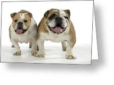 Bulldogs, Male And Female Greeting Card