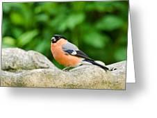 Bullfinch Greeting Card