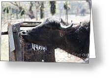 Bulls Cry Greeting Card