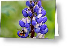 Bumble Bee And Lupine Greeting Card