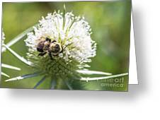 Bumble Bee On Button Bush Flower Greeting Card