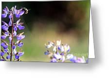 Bumble Bee On Lupine Greeting Card