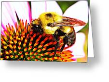 Bumblebee On Echinacea  Greeting Card