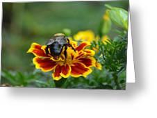 Bumblebee On Marigold Greeting Card