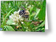 Bumblebee On White Clover Greeting Card