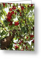 Bumper Crop - Cherries Greeting Card