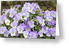 Bunch Of Pansy Flowers Greeting Card