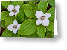 Bunchberries Greeting Card