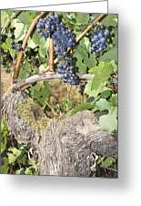 Bunches Of Red Wine Grapes Growing On Vine Greeting Card