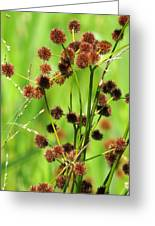 Bur-reed Greeting Card