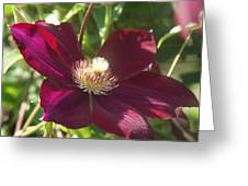 Burgundy Clematis Profile   # Greeting Card