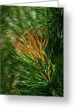 Burnished Pine Greeting Card