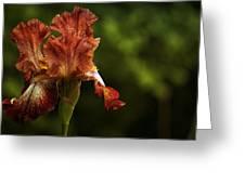 Burnt Orange Iris Greeting Card
